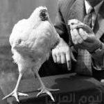 قصة الدجاجة المعجزة . التى عاشت بدون رأس .. !!