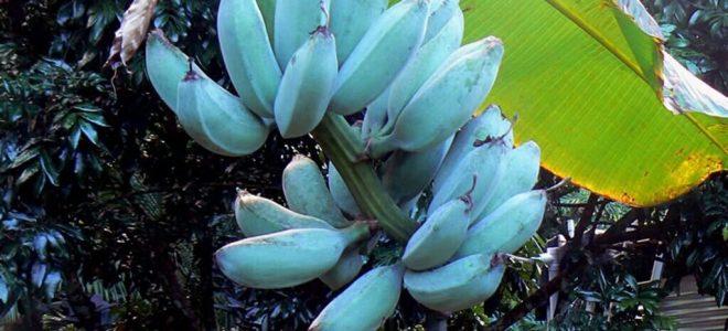 الموز الأزرق.. جالب الحظ وفال الخير ويقلل الوزن الزائد