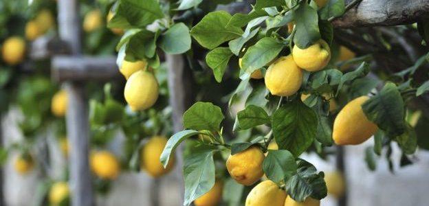 نقيب الفلاحين: الليمون بـ 7 جنيهات خلال أيام