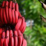 الموز : اسرع علاج للاكتئاب وتشنجات العضلات